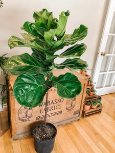 Ficus Lyrata - Fiddle Leaf Fig 10""