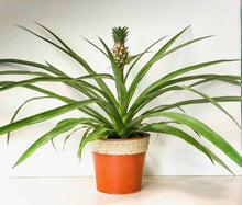Load image into Gallery viewer, Pineapple Plant!