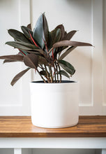 Load image into Gallery viewer, Ficus elastica-Burgundy Rubber Plant