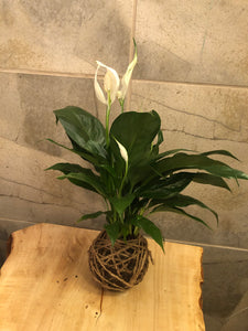Peace Lily Mudball-Large