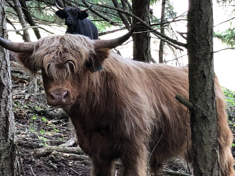 Matcha Scottish highland cow