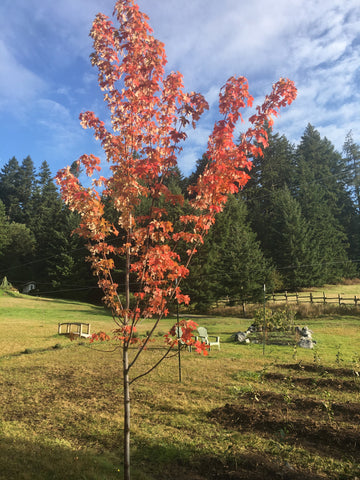Maple tree in fall at San Juan Island Tea Farm