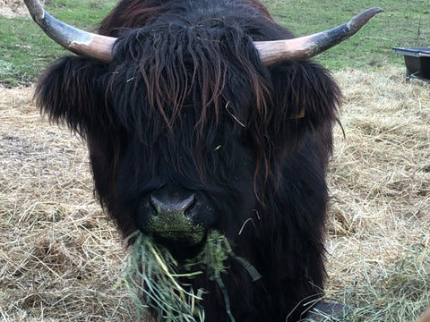Oolong Scottish highland cow