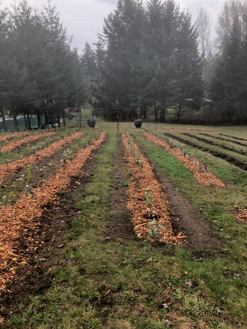 Tea rows with mulch in November 2019