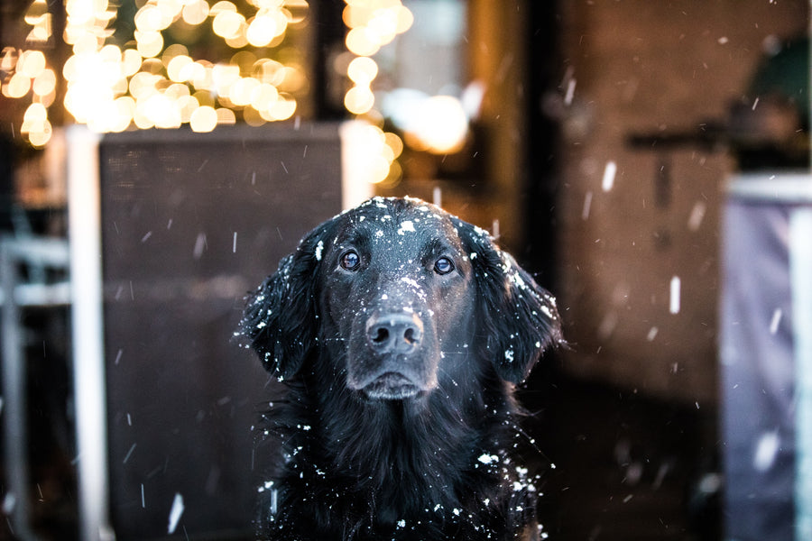 How Cold is Too Cold for Dogs: How to Prepare Your Pup For the Winter