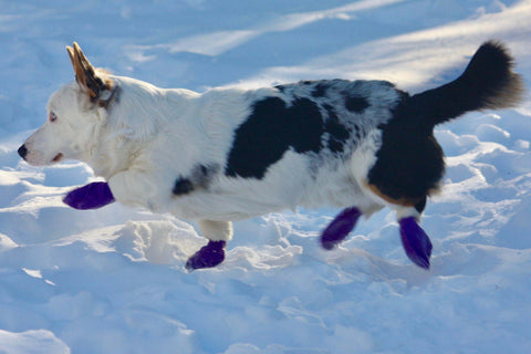 Dog in a boots
