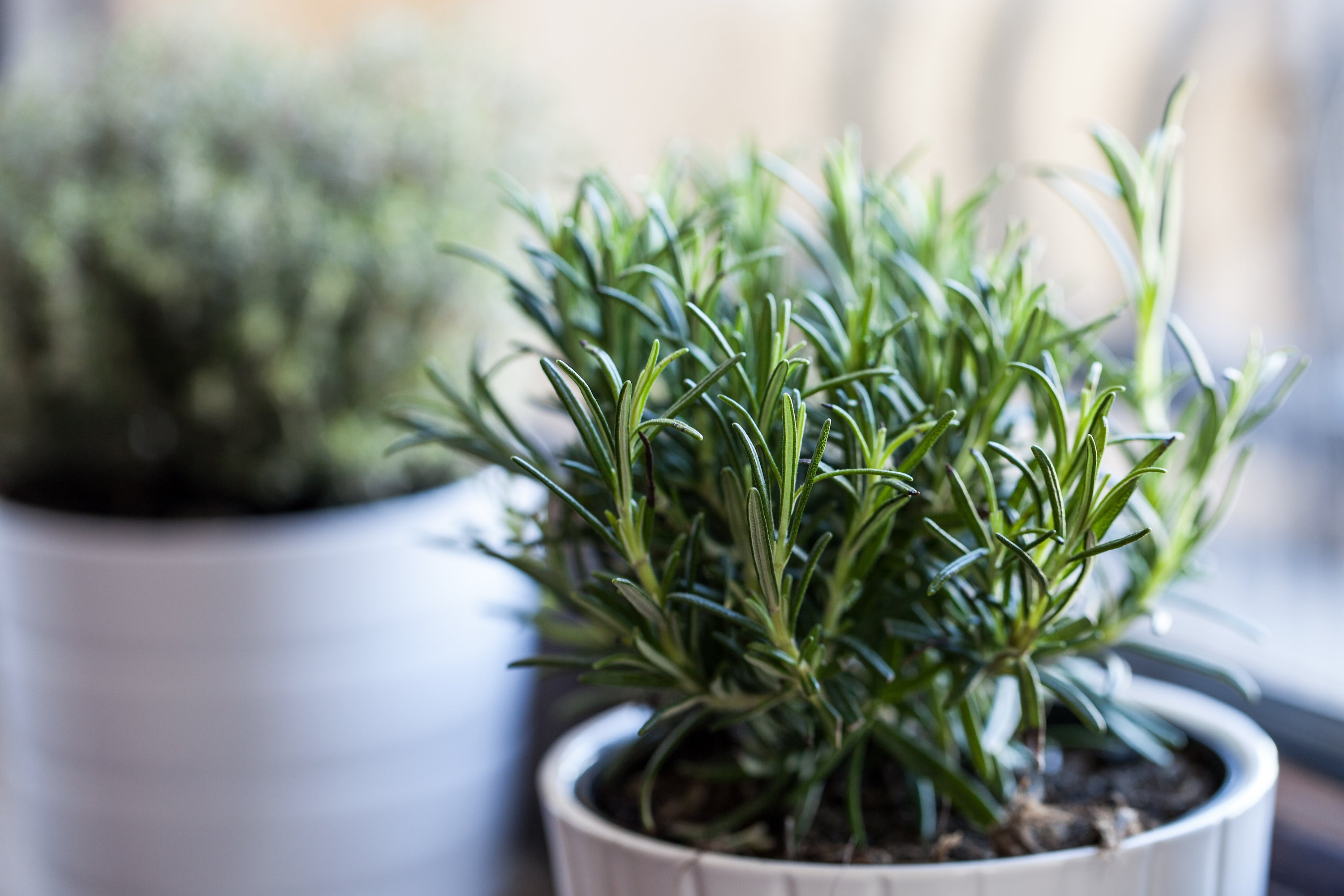 rosemary growing in small pot