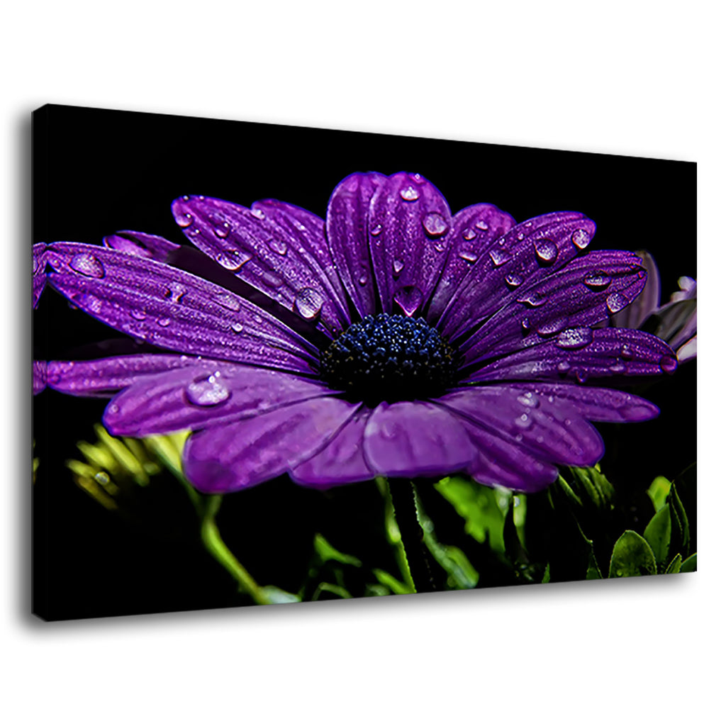 Dew Drops Of Rain Up On Violet Daisy Flower