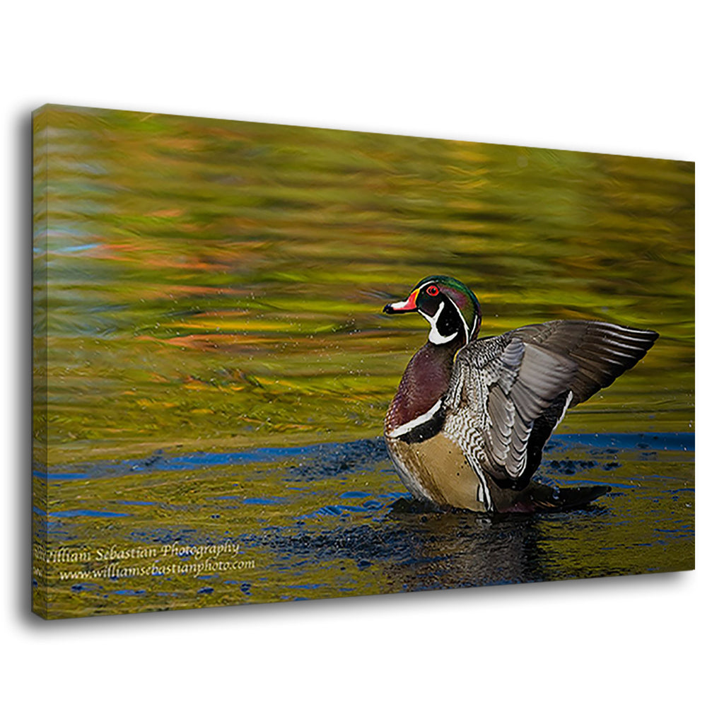 Beautiful Wood Duck Raising To Stretch His Wings