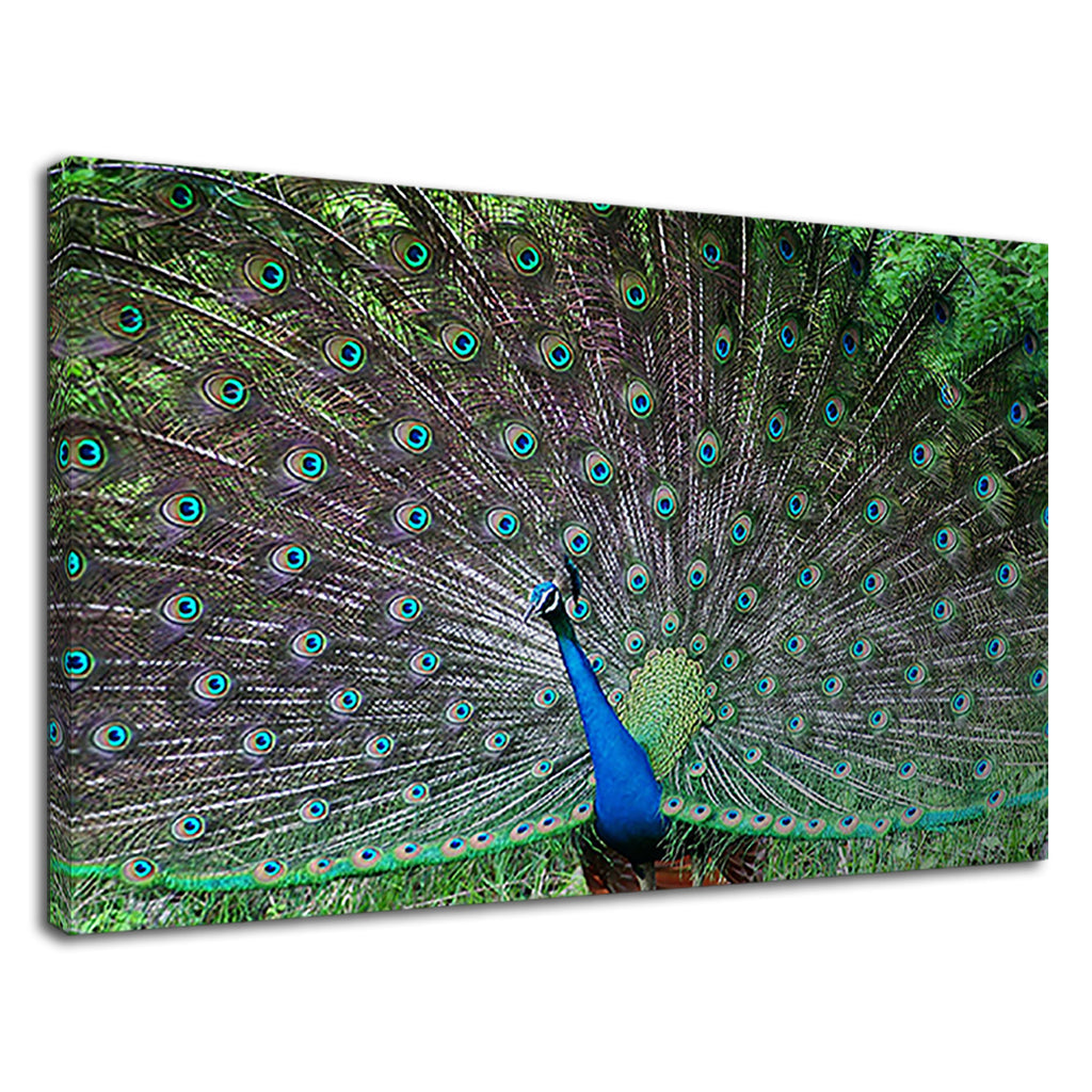Stunning Blue And Green Peacok Feathers Spread