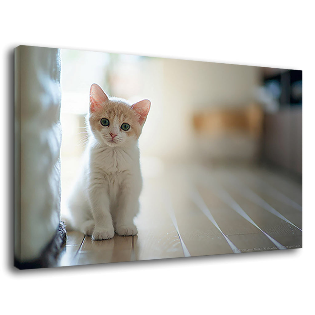 Cute White Baby Cat Kitten Pet Indoors