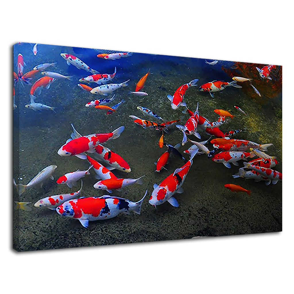 Japanese Koi Fish Carp Swimming