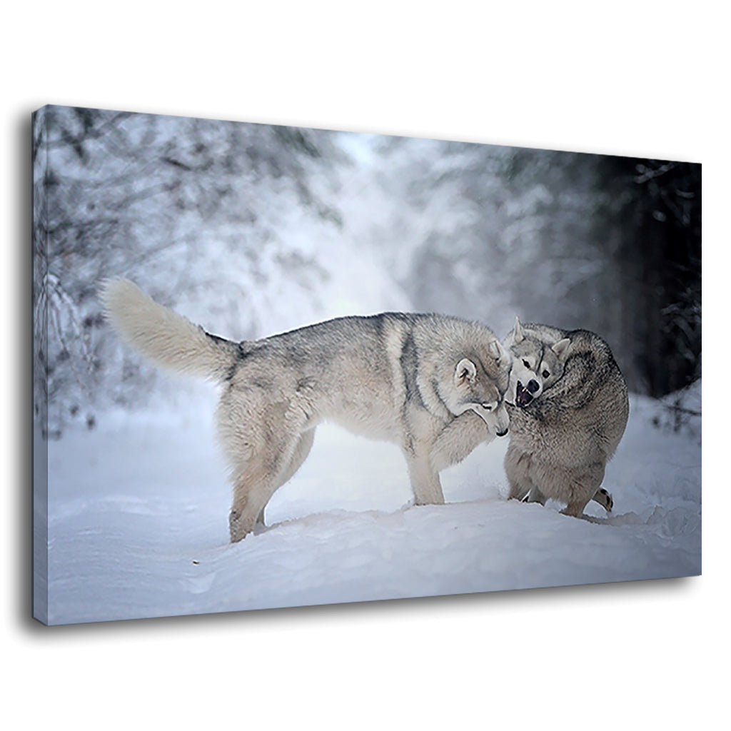Snow Dogs Biting Tail Husky At Forest Snow Fall