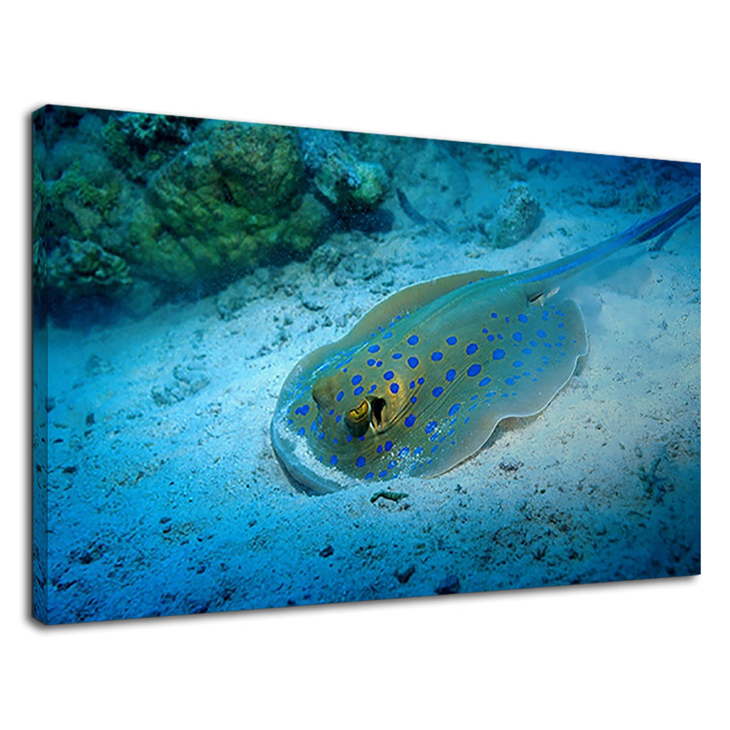 Beautiful Bluespotted Ribbontail Ray In Ocean