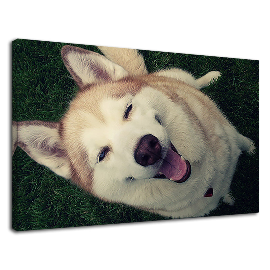 Gorgeous Siberian Husky Smiling For Living Room