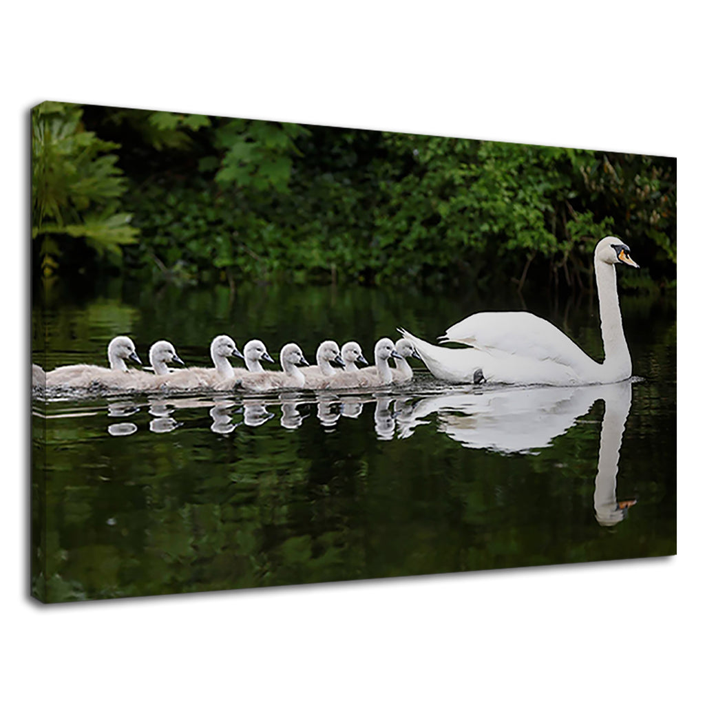 Beautiful White Swans Family Swimming On The Lake