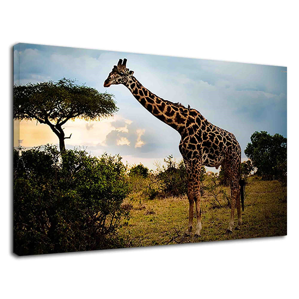 Tall Giraffe Eating Leaves From Trees In Savanna