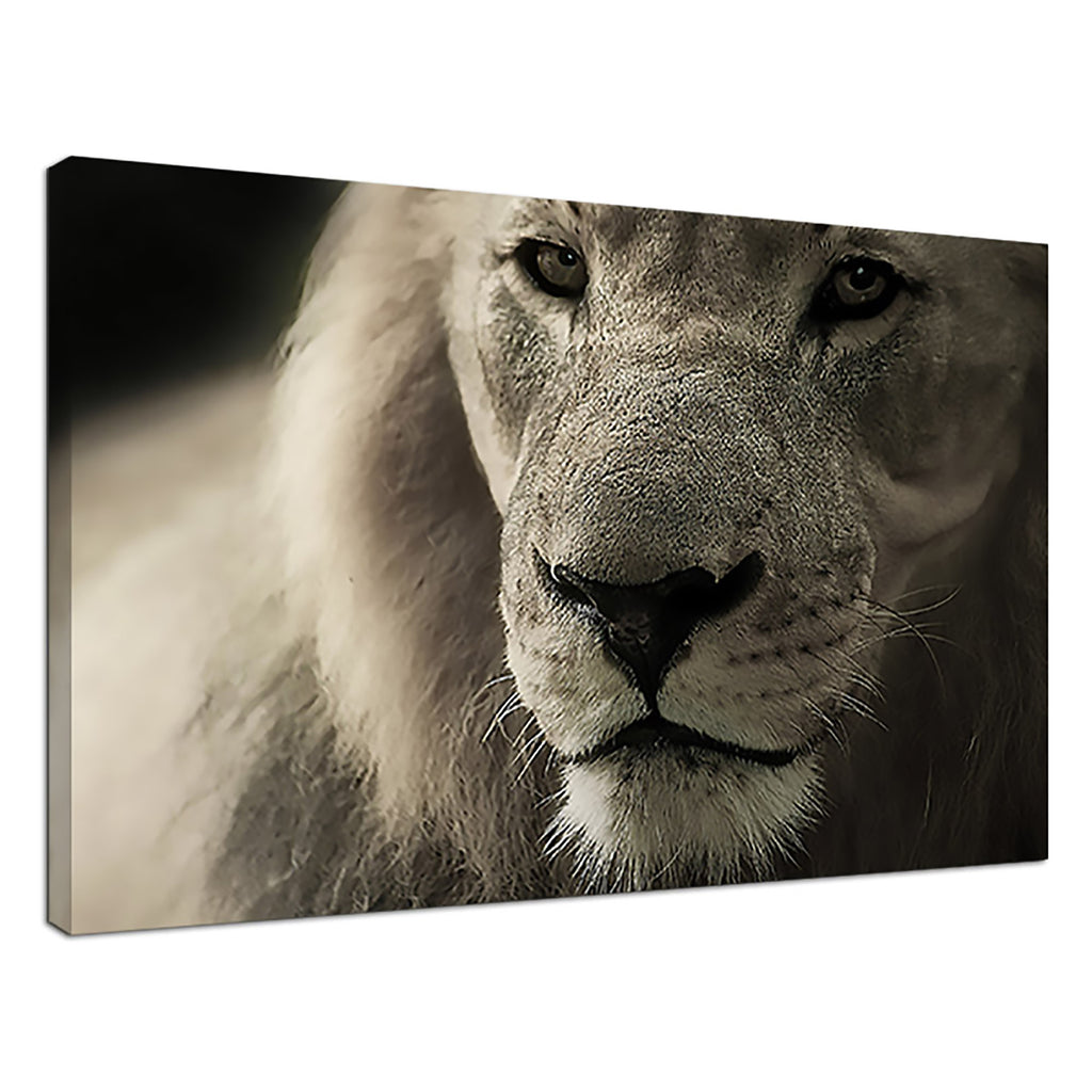 White Lion Black & White Image Monochrome Animal