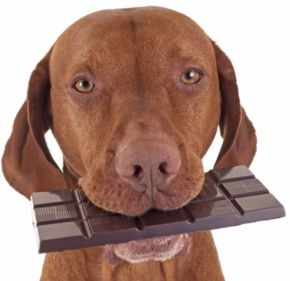 Pets and Chocolate Toxicity