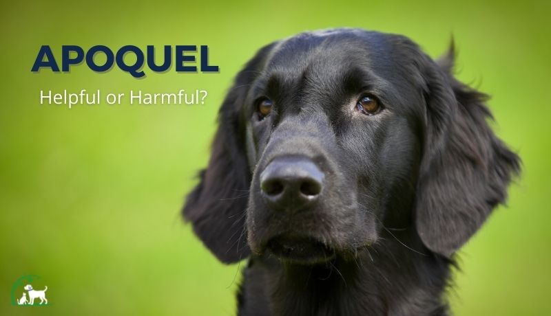 Apoquel: Helpful or Harmful to Dogs?