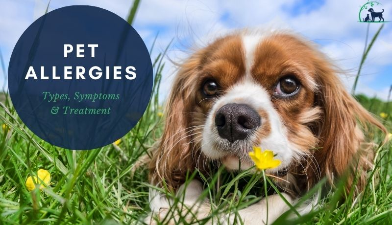 Pet Allergies; spaniel dog lays in grass, flowers