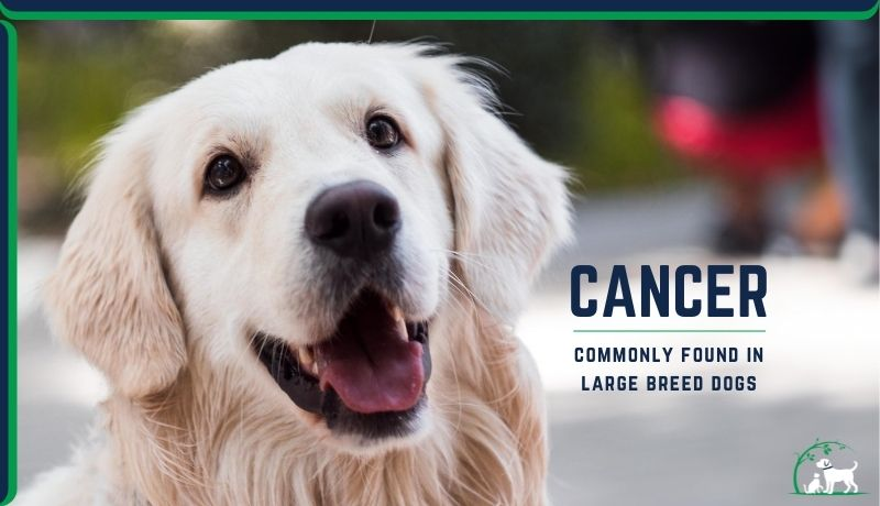 cancers found in large breed dogs