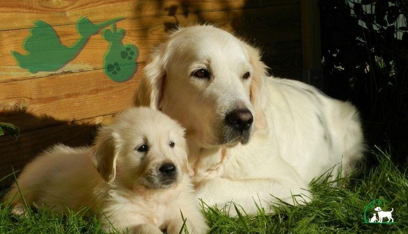 Dog Breeding: How to Care for Your Pregnant Pooch