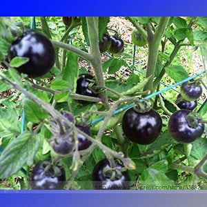 2018 Hot Sale USA Organic Indigo Rose Blue Tomato Seeds, Professional Pack, 100 Seeds/Pack, Non-GMO