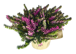 Erica Darlyensis 'Winter Heather'
