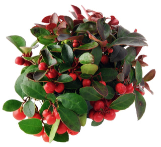 Gaultheria 'Winter Berry'