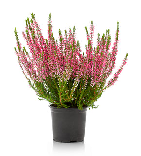 Calluna Vulgaris 'Fall Heather'
