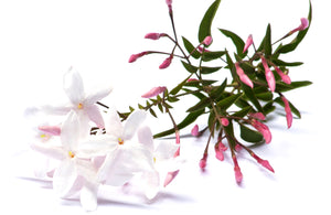 Pink Jasmine ○ Available only in Canada