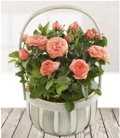 Planted Rose Basket