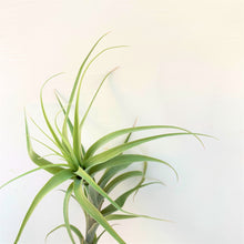 Tillandsia latifolia caulescent form