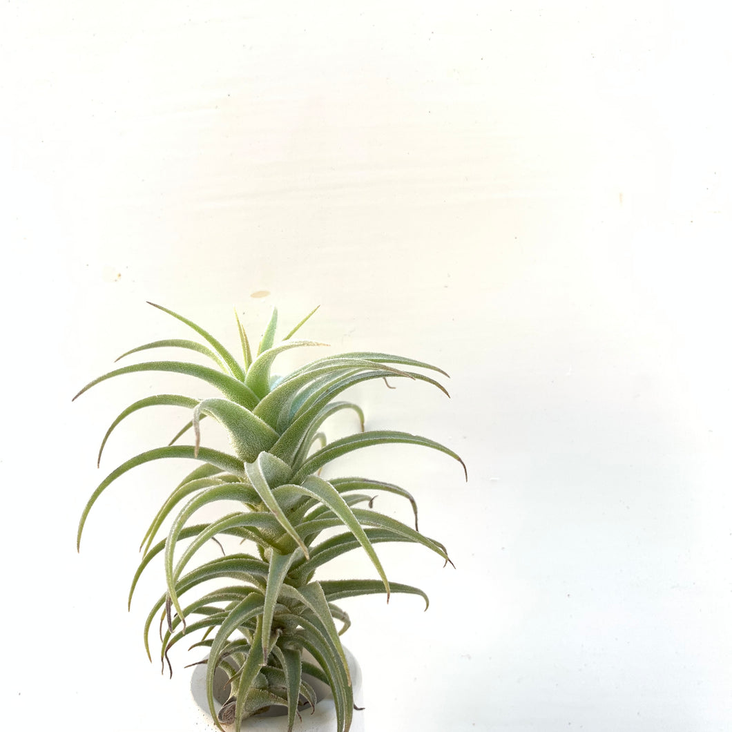 Tillandsia purpurea 'spiral select'