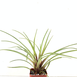 Tillandsia cyanea variegated form