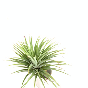 Tillandsia ionantha fat boy