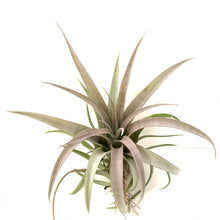 Tillandsia capitata yellow