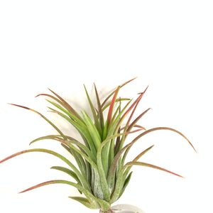 Tillandsia ionantha Big Boy