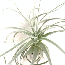Tillandsia straminea thick leaf form