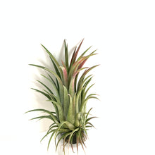 Tillandsia ionantha curly giant