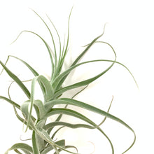 Tillandsia straminea caulescent form