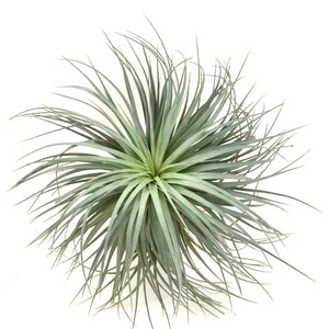 Tillandsia houston green large form