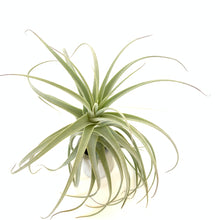 Tillandsia purpurea #9