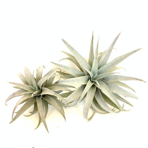 Tillandsia capitata yellow dwarf