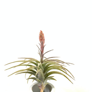 Tillandsia latifolia red dwarf