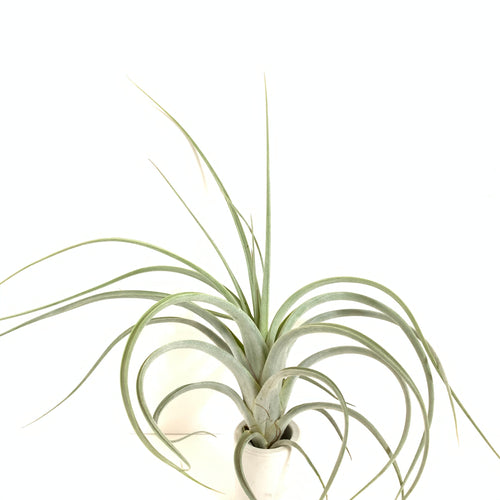 Tillandsia intermedia x concolor
