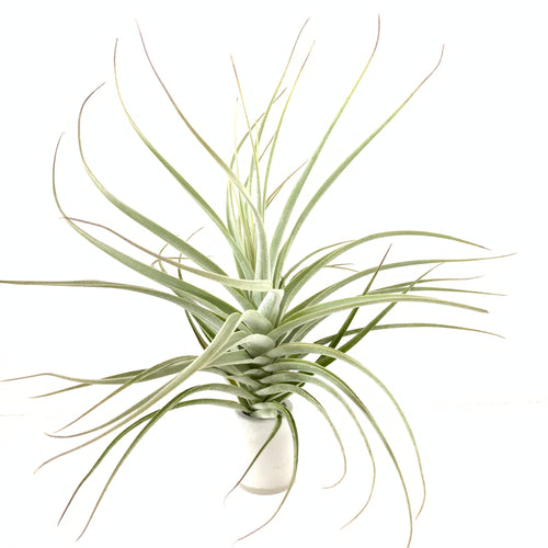Tillandsia purpurea #14