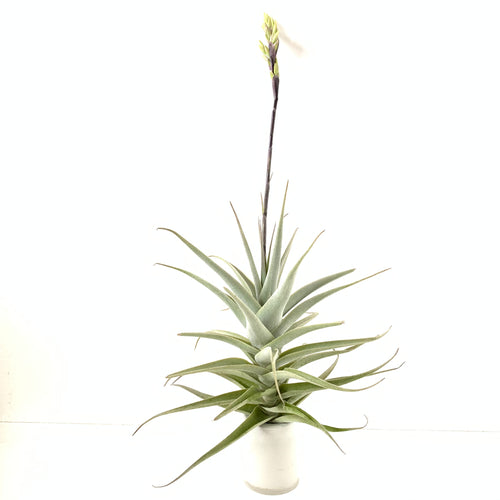 Tillandsia purpurea #6