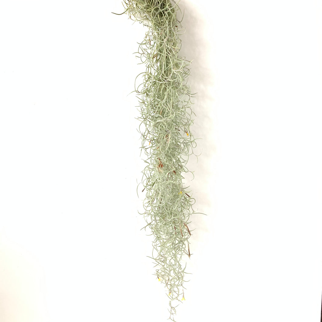 Tillandsia usneoides curly form (orange flower)